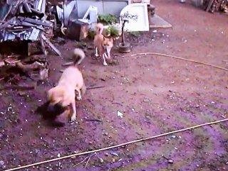 Tavuk çiftliğine dalan köpekler tavukları telef etti
